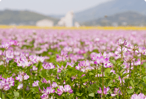 Milk Vetch Cultivation